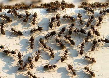 This is an image of ants, a pest control in Saddleworth problem recently solved by Abate Pest Control Services.