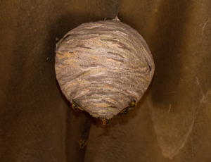 This is an an image of an Ashton-under-Lyne wasps nest removed by Abate Pest Control Services.