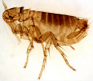 This is an image of a flea, a Stalybridge pest control problem solved.