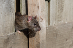 Tameside Rats And Mice Infestation