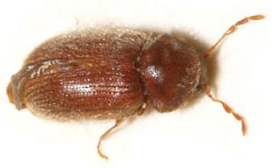 Biscuit Beetle Control