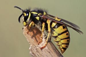 Wasp Control Tameside