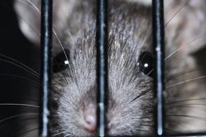 Rats in loft